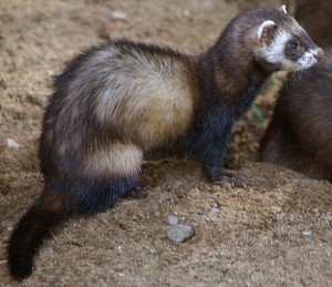 Common polecat M. p. putorius