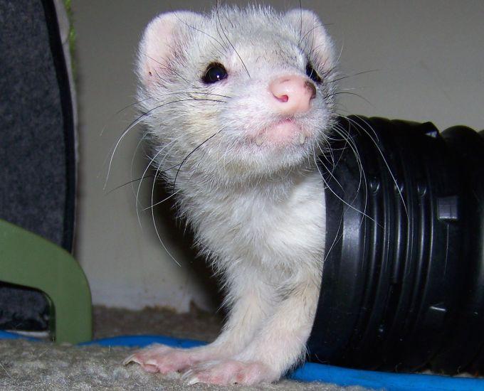 Ferrets love tunnels
