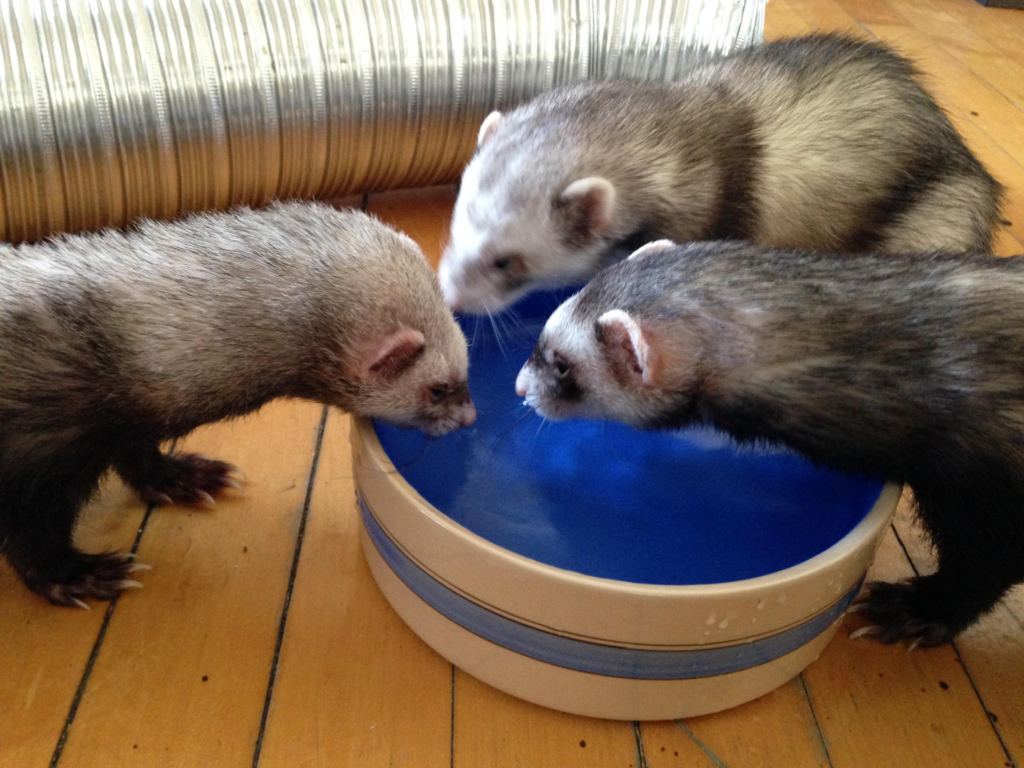 Drink Bottle For Ferret