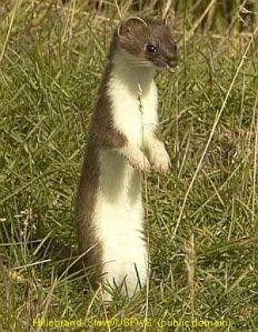 weasel3