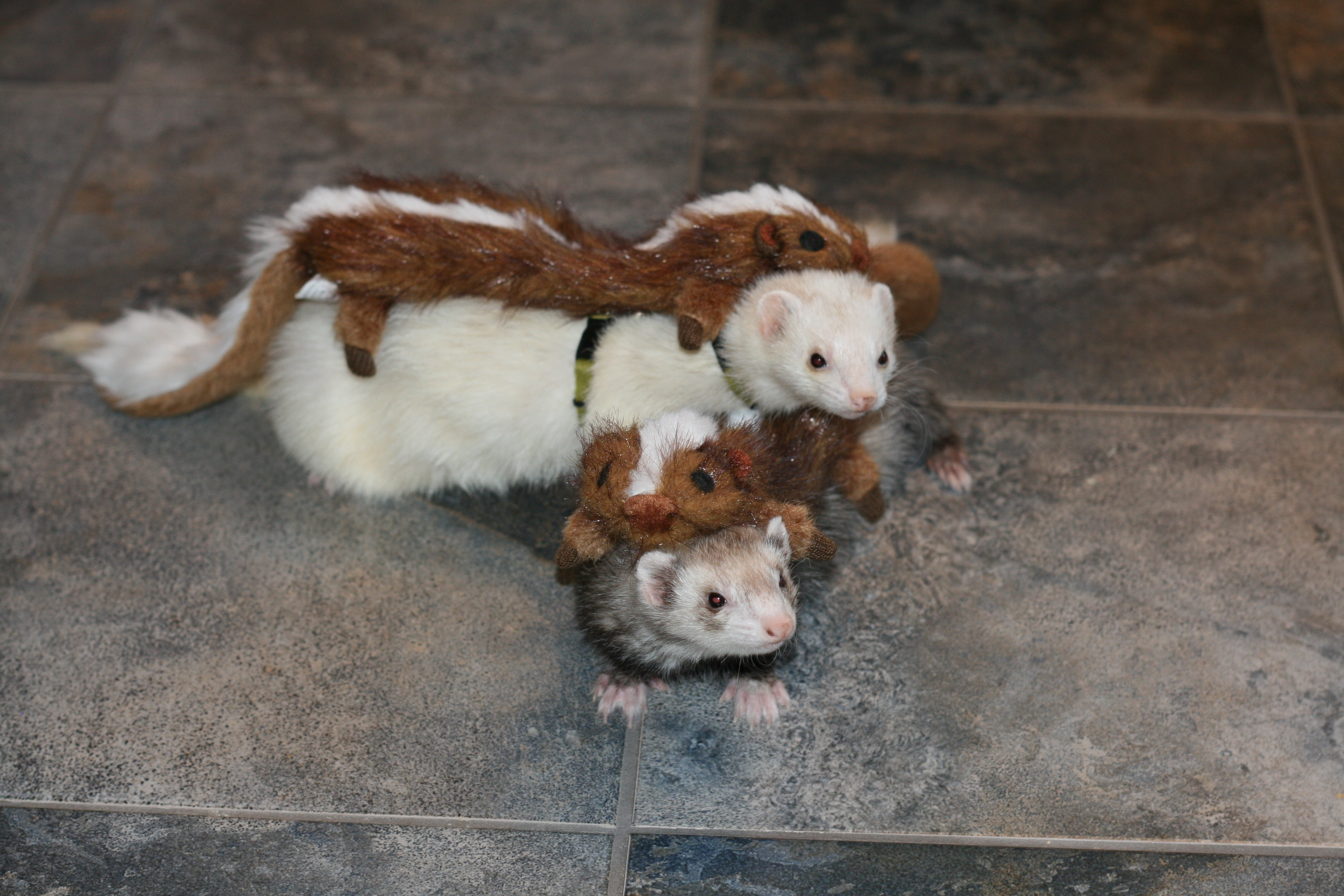how to get a ferret permit